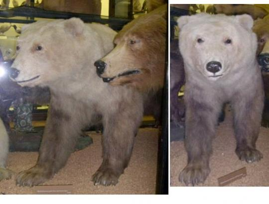 Grizzly Polar Bear Interbreeding