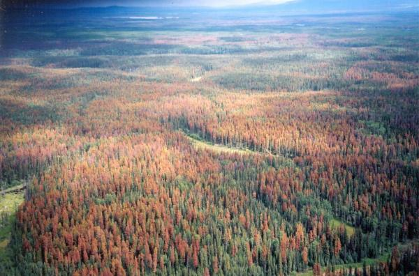 Pine Beetle Destruction